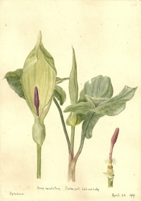 Arum maculatum (Cuckoo Pint or Lord and Alady)