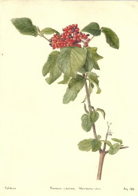 Viburnum lantana (The Wayfaring Tree)